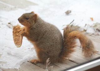 Squirrel Has A PeanutButter Sandwich