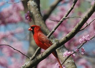 A cardinal in a redbud tree