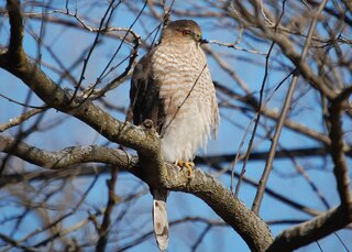 A redtailed hawk