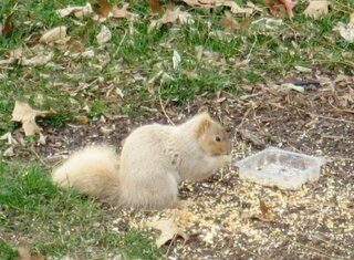 Blonde Squirrel in Chillicothe
