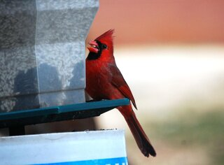 Cardinal with a safflower seed in peak