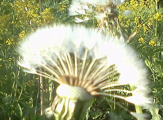 dandelion looks like oriental flower