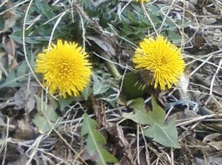 Not-So-Dandy-Dandelions