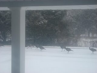 Wild Turkeys enjoying the snow.