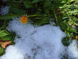 Dandelions in the snow in January..