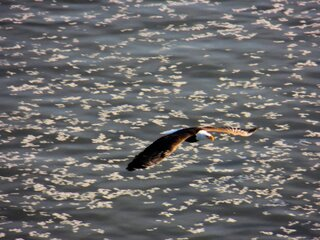 Eagle Soaring Over Illinois River