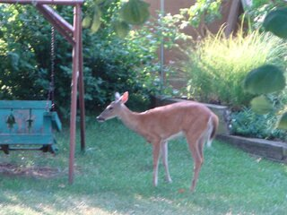 Deer in the Linse yard in Germantown