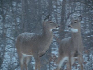Two mama deer chat in the woods.