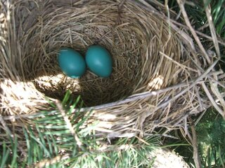 Robin eggs in a blue spruce