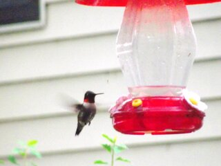 Little Hummers Love the Feeder