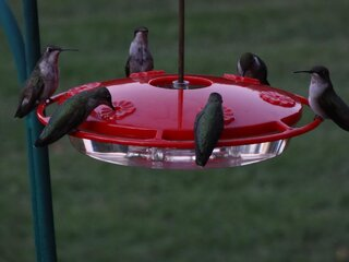 United Nations of Humming Birds
