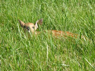 Baby fawn hiding in grass