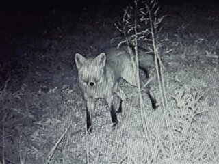 Fox in Creve Coeur