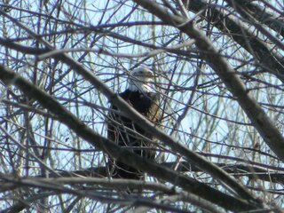 Eagle along the Mackinaw River