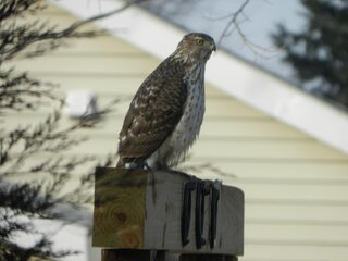 Hawk that frequents our feeders.