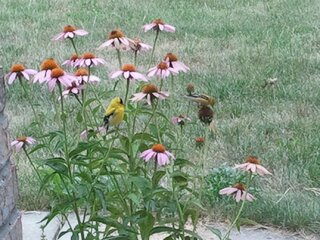 Coneflowers, not just for breakfast!