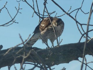 Hawk in Backyard Tree