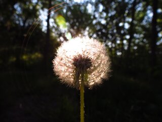 Dandelion seeds backlit by sun.