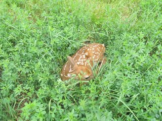 baby fawn in the hay field
