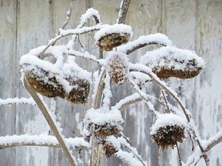 Snow on the Sunflowers