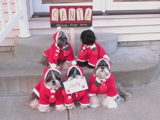 The Tzu Kids  hoping Santa will stop!