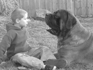 The Love between English Mastiffs & Kids