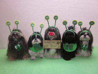 Irish Tzu are smiling!