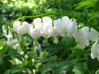 Delicate White Bleeding Hearts