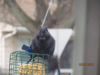 Hungry Black Squirrel