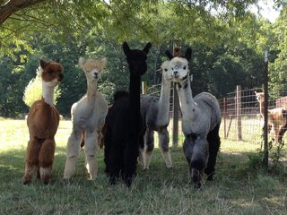 Alpaca Farm Days Open House