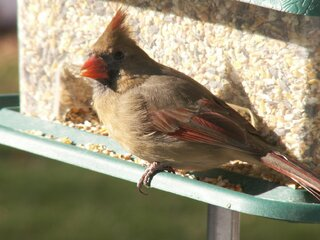 Cardinal was on the feeder
