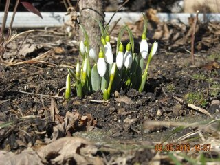 Snowdrops in Morton, Illinois
