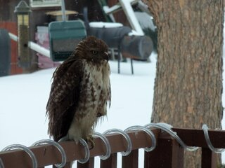 Hawk looking for something to eat