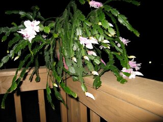 Christmas Cactus Explodes in Bloom