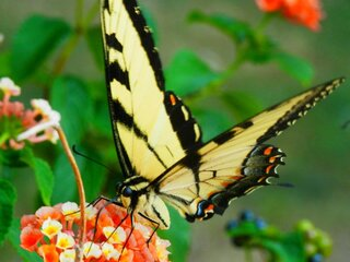 Yellow Swallow-Tail