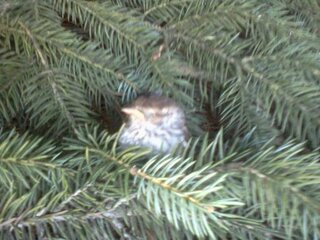 baby rests in pine tree