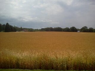 amber waves of grain