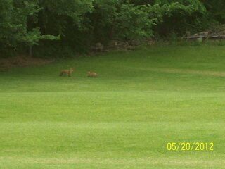 Moma Fox and 4 Babies