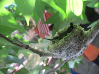 Baby hummingbird in nest