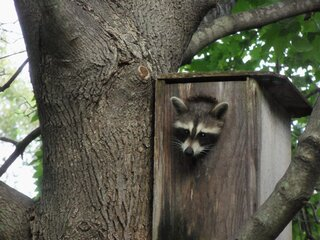 A young raccoon in the squirrel house.