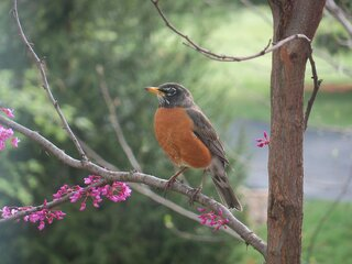 A robin in our redbud