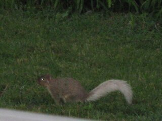 rare whitetail squirrel