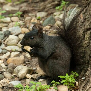 Black Squirrel with white tipped tail