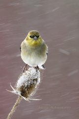 American Gold Finch resting in blizzard