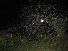 Night time spider web