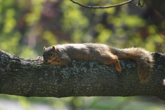 Sunning Squirrel