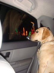 Even pets enjoy the Christmas lights!