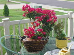 Bougainvillea Bright
