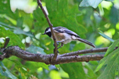 Chickadee Catching Insects In Trees
