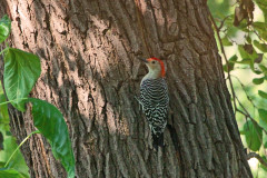 Woodie Woodpecker